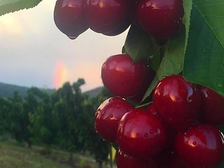 Exquisitas cerezas, #ProductodeFitero, ya disponibles para compra online